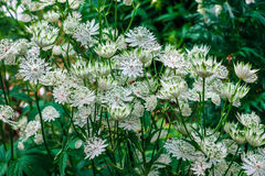 Weiße Astrantiablumen Stockfotos