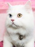 Weiße Augen der persischen Katze zwei Farb Stockfoto