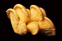 Weiße Austern-Pilze für Verkaufshintergrund Stockfoto