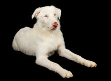 Weiße australische Schäferhund-Hundeniederlegung Stockfotografie