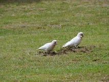 Weiße australische Vögel in einem Park lizenzfreie stockbilder