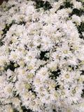 Weiße autumne Blumen Lizenzfreie Stockfotos