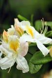 Weiße Azalee stockfoto