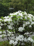 Weiße Azaleenblumen Lizenzfreie Stockfotos
