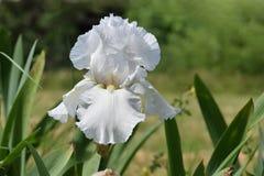 Weiße bärtige Iris Flower in Sun Lizenzfreie Stockfotografie