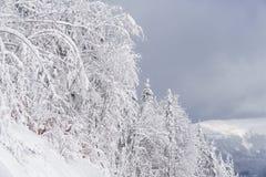 Weiße Bäume mit den Niederlassungen voll vom Schnee Wintermärchenlandlandschaft Lizenzfreie Stockfotos