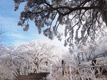 Weiße Bäume und weiße Zäune Stockbild