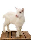 Weiße Babyziege auf Kiste Stockbilder
