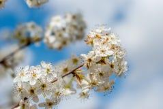 Weiße Baumblüten gegen einen bewölkten Himmel lizenzfreie stockbilder