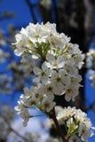 Weiße Baumblüten mit den grünen Blättern vertikal Stockfotografie