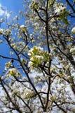 Weiße Baumblüten mit den grünen Blättern vertikal Stockbilder