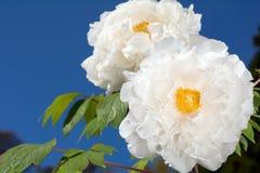 Weiße Baumpfingstrosenblumen lizenzfreie stockfotos