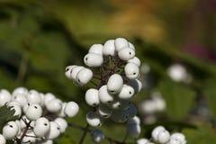 Weiße Beere Stockfotos