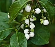 Weiße Beeren stockbilder