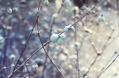 Weiße Beeren im Winter Stockbilder
