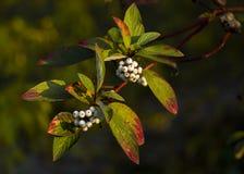 Weiße Beeren auf einer Niederlassung mit Blättern Stockfotografie