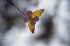 Weiße berryes callicarpas im Wald Stockfotos