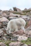 Weiße Big Horn-Schafe - Rocky Mountain Goat Stockfoto