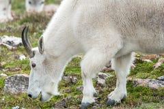 Weiße Big Horn-Schafe - Rocky Mountain Goat Lizenzfreies Stockbild