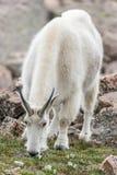Weiße Big Horn-Schafe - Rocky Mountain Goat Lizenzfreie Stockfotografie