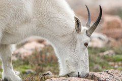Weiße Big Horn-Schafe - Rocky Mountain Goat Lizenzfreie Stockbilder