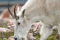 Weiße Big Horn-Schafe - Rocky Mountain Goat Stockbild