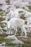 Weiße Big Horn-Schafe - Rocky Mountain Goat Stockbilder