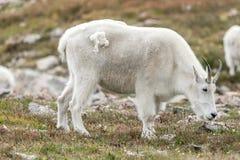 Weiße Big Horn-Schafe - Rocky Mountain Goat Lizenzfreies Stockfoto
