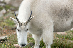Weiße Big Horn-Schafe - Rocky Mountain Goat Stockfotografie