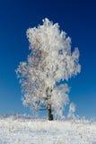 Weiße Birke Stockfotografie