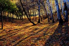 Weiße Birke des Herbstes Stockfotografie