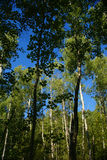 Weiße Birke, die im England-Wald gruppiert Lizenzfreie Stockfotografie