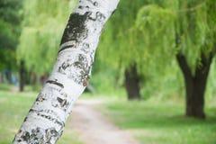 Weiße Birke im Wald in Ukraine lizenzfreie stockfotos