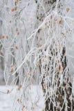 Weiße Birke mit Niederlassungen im Schnee Stockfotografie