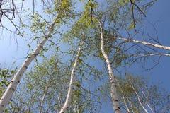 Weiße Birken Stockfoto