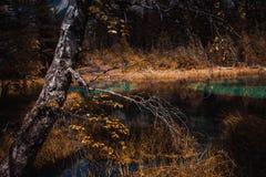 Weiße Birken in der Herbstdekoration auf dem lake& x27; s-Ufer, Stockfotografie