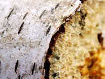 Weiße Birken-Holz Lizenzfreies Stockbild