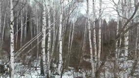 weiße Birken im Winter stock footage