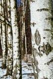 Weiße Birkenrinde im Winter Lizenzfreie Stockbilder