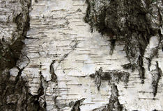 Weiße Birkenrinde, natürlicher Beschaffenheitshintergrund der Nahaufnahme Stockfoto