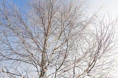 Weiße Birkenzweige im Winter gegen einen blauen Himmel Lizenzfreies Stockbild