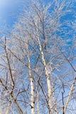 Weiße Birkenzweige im Winter gegen einen blauen Himmel Lizenzfreie Stockfotos