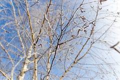 Weiße Birkenzweige im Winter gegen einen blauen Himmel Stockbilder