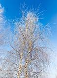 Weiße Birkenzweige im Winter gegen einen blauen Himmel Stockbild