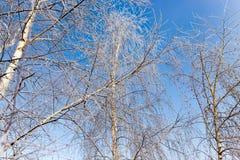 Weiße Birkenzweige im Winter gegen einen blauen Himmel Stockfoto