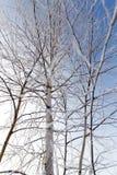 Weiße Birkenzweige im Winter gegen einen blauen Himmel Stockfotografie