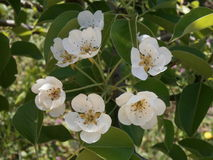 Weiße Birnenblumen Stockfotografie