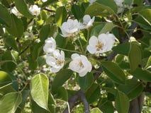 Weiße Birnenblumen Stockbild