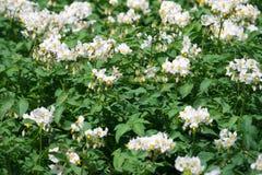 Weiße blühende Kartoffelpflanzen Lizenzfreie Stockbilder