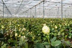 Weiße blühende Rose, die in einem Gewächshaus wächst Lizenzfreie Stockfotos